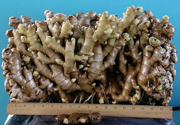 A ton of ginger. It's been my friend. Image by the USDA, public domain; via Wikimedia Commons.