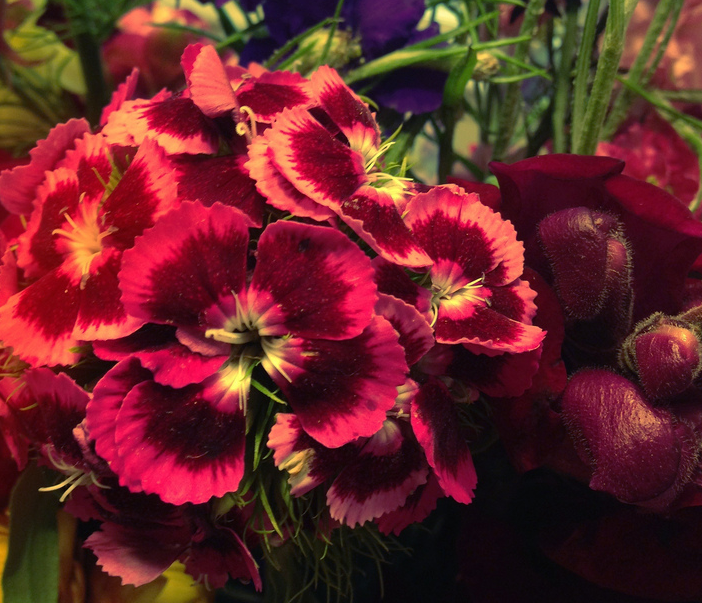 Sweet William. CC BY SA 3.0. Natania Barron